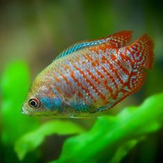 Learn how to choose the best fish for 10 gallon tank setup that fulfills not only your needs but also and your fish would have happy life. 3 Gallon Fish Tank, 20 Gallon Aquarium, Glass Fish Tanks, Cool Fish Tanks, Freshwater Aquarium Fish, Saltwater Aquarium, Saltwater Tank, Coldwater Fish, Aquariums For Sale