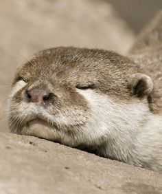 Napping otter.