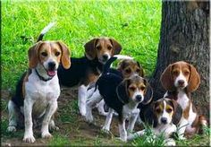 My husbands dream, home full of beagles!!!
