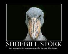 shoebill - Pesquisa Google