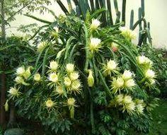 A parte inferior das flores não fertilizadas torna-se amarelada e cai inteiramente após 4 a 6 dias. Quando fecundadas, a parte inferior torna-se esverdeada e há um aumento de volume, indicando a fixação do fruto.