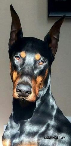 The Doberman Pinscher is among the most popular breed of dogs in the world. Known for its intelligence and loyalty, the Pinscher is both a police- favorite I Love Dogs, Cute Dogs, Animals And Pets, Cute Animals, Doberman Pinscher Dog, Doberman Breed, Doberman Love, Beautiful Dogs, Dogs And Puppies