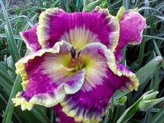 Don Barrett Deep South Daylily Seedlings