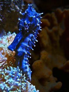 Blue seahorse by Yves Rubin