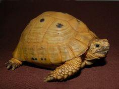 Adult Golden Greek Tortoise