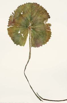Sue Herbert, Water Liliy with Broken Stem, Watercolour on paper 28 1/4 x 18 3/4ins ( 72 x 48cm)
