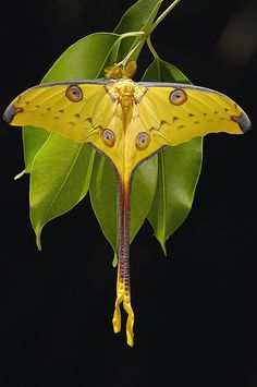 Moon Moth (Argema Mittrei) ~ Photography by Pete Oxford