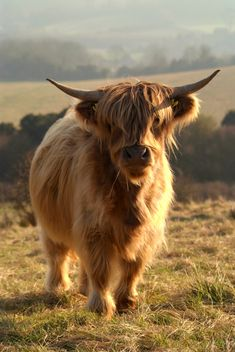 Baby Highland Cow  (Well, not too much of a baby with those horns. Ouch! LOL)