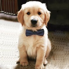 Golden Retriever puppy with bow tie Retriever Puppy, Dogs Golden Retriever, Baby Golden Retrievers, Cute Dogs And Puppies, I Love Dogs, Doggies, Cute Baby Animals, Funny Animals, Animals Dog