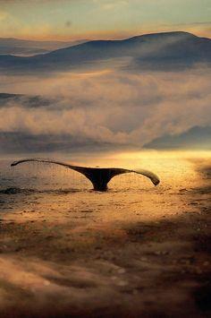 Humpback whale (Megaptera novaeangliae) tail.  Inside Passage, Frederick Sound, Alaska, USA.