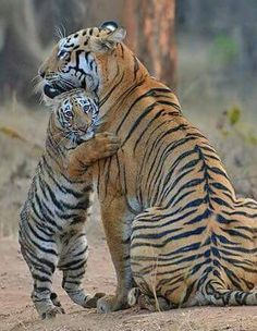 Tiger mother and cub Animals And Pets, Baby Animals, Funny Animals, Cute Animals, Wild Animals, Big Cats, Cats And Kittens, Cute Cats, Beautiful Cats