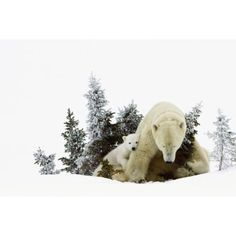 Polar Bears At Wapusk National Park Churchill Manitoba Canada Canvas Art - Richard Wear Design Pics (19 x 12)