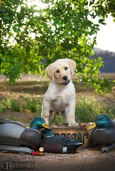 Yellow labrador puppy - duck hunting