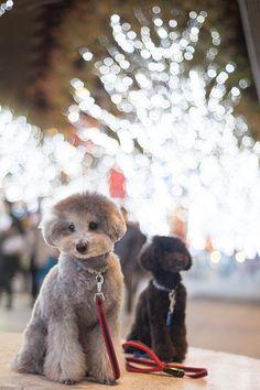 #christmaslights #toypoodle #silverpoodle #blackpoodle #bluepoodle