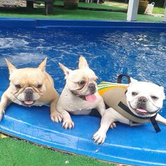 French Bulldog pool party.