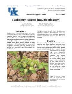 Blackberry Rosette (Double Blossom)  Blackberries are a favored fruit grown for both home and commercial production in Kentucky. A significant challenge, however, is the presence of several fungal diseases that require careful cultivar selection and management during the growing season. Blackberry rosette, also known as double blossom, is one of these diseases. Garden Solutions, Blackberries, Rosettes, Kentucky, Sick, Commercial, Challenge, Management
