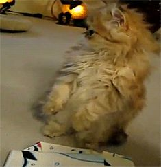Kitteh (Click on the pic for the most a-freaking-dorable gif ever. This is the kind of kitty I want.)