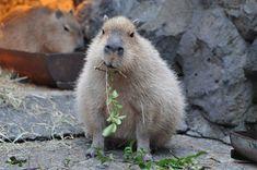 capybara gif - Google Search