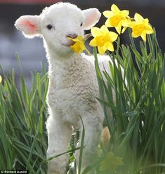 Who are you calling an ugly duckling? Wildlife photographer conjures up some animal magic - Vera Kalk - Who are you calling an ugly duckling? Wildlife photographer conjures up some animal magic Lamb in daffodils Cute Baby Animals, Animals And Pets, Funny Animals, Nature Animals, Newborn Animals, Colorful Animals, Wild Animals, Beautiful Creatures, Animals Beautiful