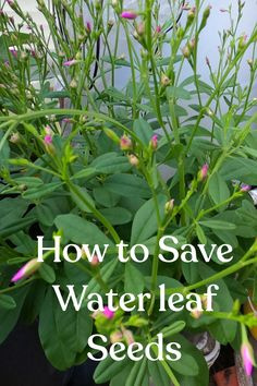 How to get Waterleaf Seeds. Easy and cheap way to get seeds for next year. #seeds #saveseeds #waterleaf #howtosaveseeds Greenhouse Growing, Mini Greenhouse, Greenhouse Gardening, Container Gardening, Gardening For Beginners, Gardening Tips, Vegetable Gardening, Seed Germination, Love The Earth