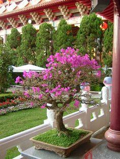 Bougainvillea Bonsai – King of Flowering Trees Bougainvillea Bonsai, Flowering Bonsai Tree, Bonsai Tree Types, Bonsai Trees, Growing Tree, Growing Flowers, Planting Flowers, Outdoor Bonsai Tree, Indoor Bonsai