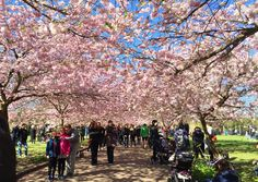 Bispebjerg kirkegård cherry blossom