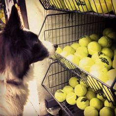 Dog Completely Overwhelmed by Choice    Buying a new tennis ball would be simple, thought Nina the border collie.