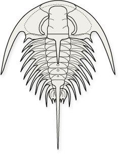 CORYNEXOCHIDA-Zacanthoides