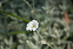 Silver Groundcover Photograph