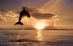 Beautiful dolphin jumping into sunset
