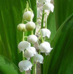 Achat Muguet (Convallaria Majalis)? Vente bulbes à fleurs en ligne!