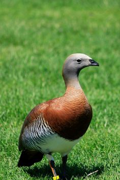 Ashy-headed Goose(Chloephaga poliocephala) is a large sheldgoose, which breeds in mountainous areas of southernmost South America and winters on lowlands just north of its breeding range.