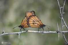 Mariposas Monarcas by ArmandoH2O, via Flickr