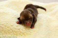 Pedro the tiny fox cub.