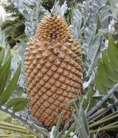 Encephalartos  Longifolius     Female cone (largest cycad cone)       Thunberg's Cycad      Suurbergbroodboom    3 m         SA  no 9