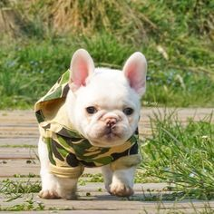 French Bulldog Puppy This lil guy's adorable I just hop he wasn't sold. He can't be over 6 weeks old.