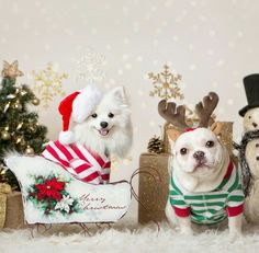 Christmas with a White French Bulldog and Pomeranian Besties❤️❤️.
