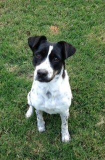 Prattville, AL Bluetick Coonhound/American Bulldog Mix