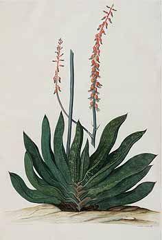 133889 Gasteria disticha (L.) Haw. [as Gasteria nigricans (Haw.) Duval]  / Moninckx, J., Moninckx atlas, vol. 7: t. 45 (1682-1709)