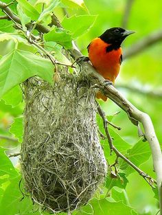This is a beautiful photo of a Baltimore Oriole & his delicate cup nest! © Gary Tyson, Hammond Lake, Tioga, Pennsylvania, June 2006, http://www.flickr.com/photos/garyt48/3610788690/