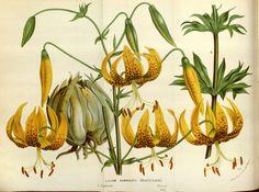 Humboldt's Lily - Lilium humboldtii - circa 1845