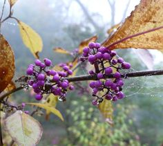 Callicarpa bodinieri Profusion Bright purple berries on beautybush seem tropical/unusual, could be used in tropical garden. Gothic Garden, Floral Photography, Photography Tips, Garden Photos, Seed Pods, Trees And Shrubs, Tropical Garden, Garden Projects, Garden Tips