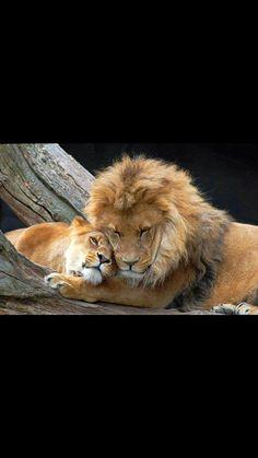Sui cadaveri dei leoni caduti festeggiano i cani credendo di aver raggiunto la vittoria, ma i leoni rimangono leoni ed i cani rimangono cani!
