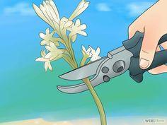 How to Grow Tuberose