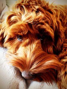 Puppy dog eyes. Dixie aged 8 months.