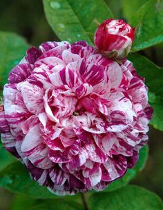 Camaieux - Ludwigs Roses | (Gallica) Well shaped, very fragrant blooms of a rosy purple with white stripes. Will flower in Spring only, even so it is incredibly profuse.