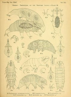 "Water bears ""The Tardigrada of the Scottish lochs' by James Murrary. Published 1905"