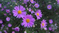 Easter  daisies were once popular in gardens