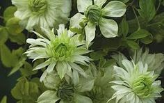 Clematis Peppermint