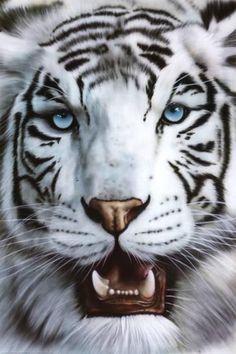 White Tiger (Tigre Blanco) Art Poster Print Prints at Bengalischer Tiger, Tiger Art, Tiger Cubs, Bear Cubs, Grizzly Bears, Beautiful Cats, Animals Beautiful, Panthera Tigris Altaica, Big Cats